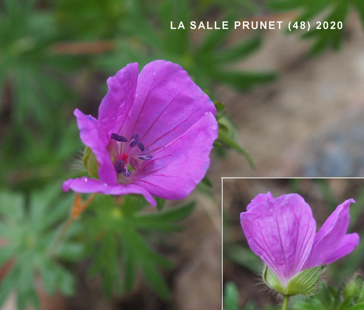Cranesbill, Bloody flower